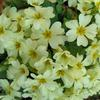 květinový swap
