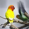 Nováčci mezi našimi papoušky - agapornisové