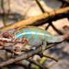 Chameleon pardálí
