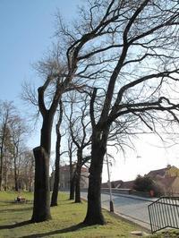 Za zajímavými stromy v Mladé Boleslavi již tuto neděli 15. 6.