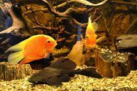 akvárium JIHOAMERICKÉ CICHLIDY A SUMCI