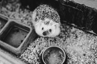 pygma - ježek bělobřichý